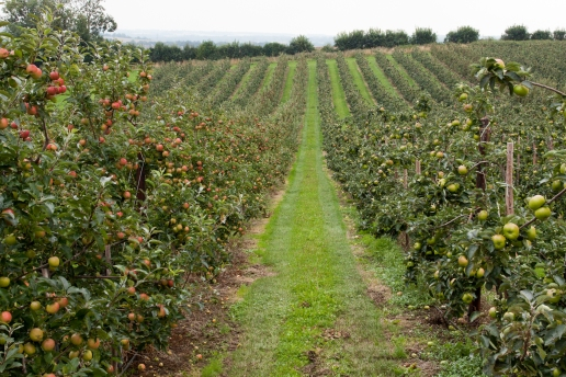 A typical scene along the Pilgrims Way, the famous apple orchards of Kent.